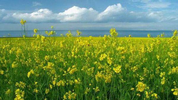 犹如油画——青海湖油菜花